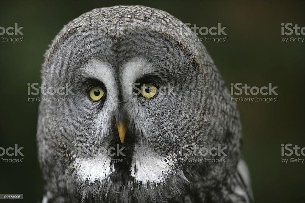 Great grey owl portrait royalty-free stock photo