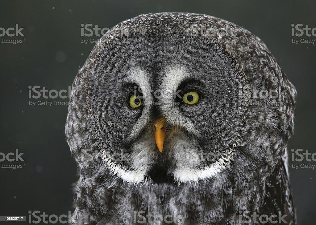 Great Grey Owl Profile stock photo