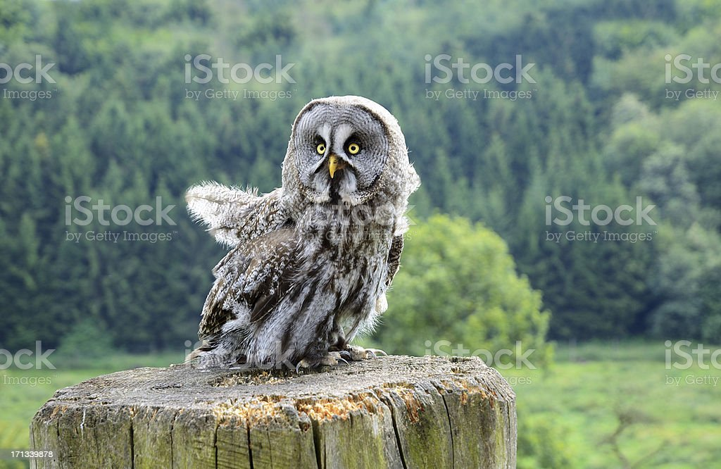 Great grey owl sits on wooden pole stock photo
