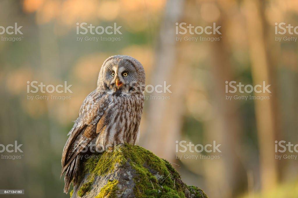 Great grey owl sitting on mossy stone stock photo