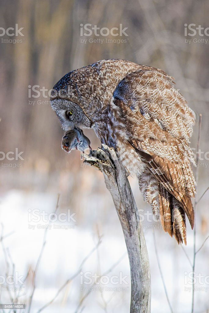 Great grey owl with mouse stock photo