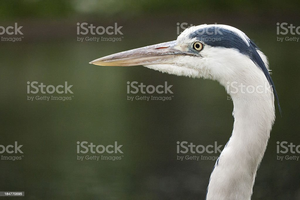 Great Heron royalty-free stock photo
