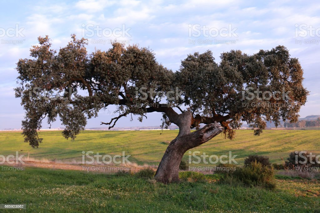 Great holm oak in the countryside stock photo