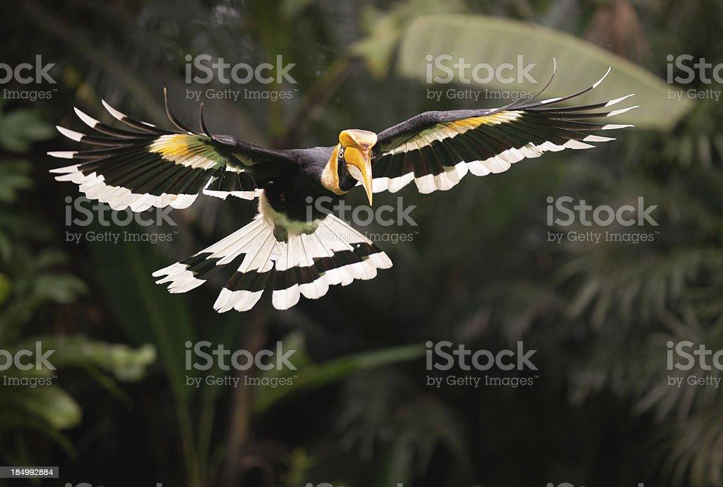 Great Hornbill (Buceros bicornis) Bird in Flight, Rainforest stock photo