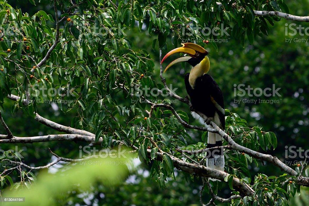 Great hornbill bird on fic tree stock photo
