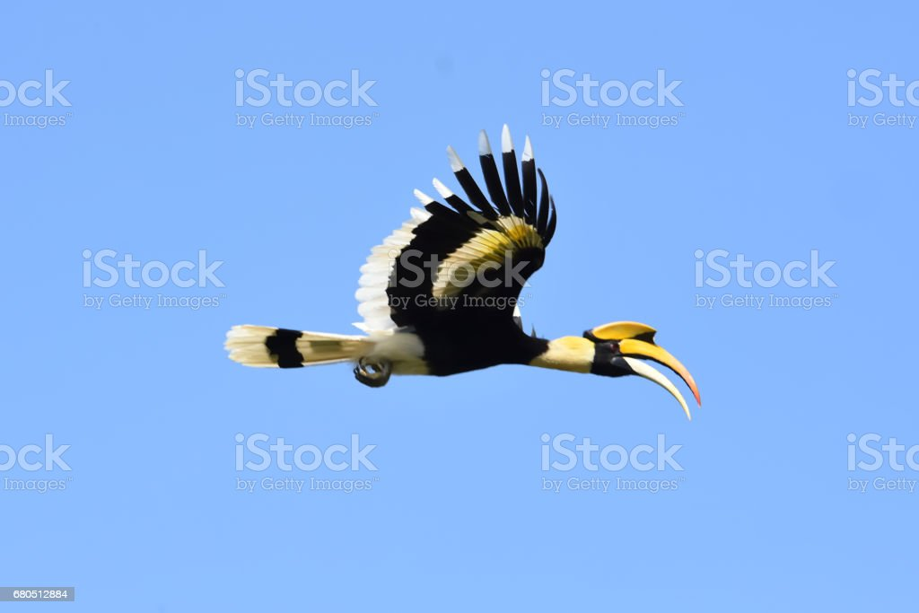 Great hornbill flying on blue sky background stock photo
