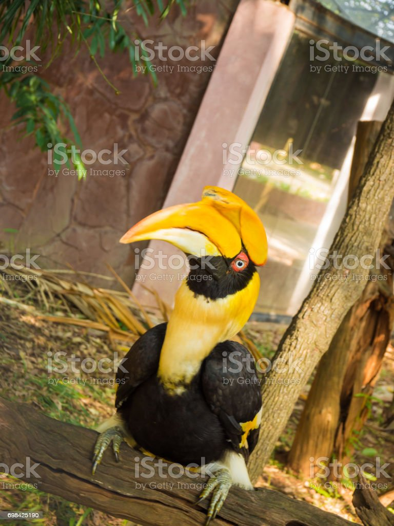 Great hornbill in thailand stock photo