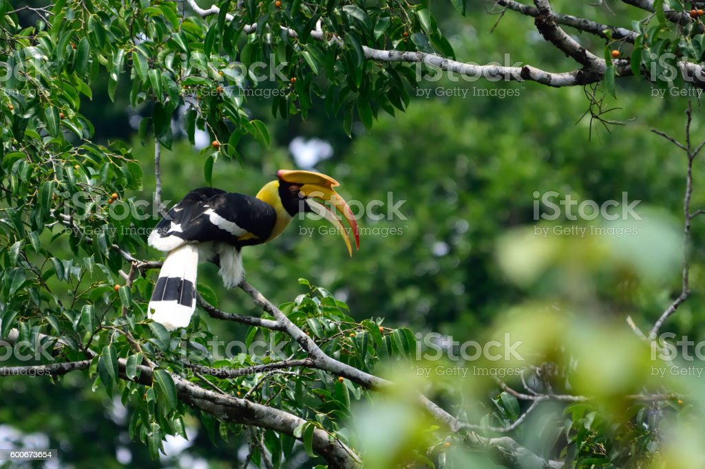 Great hornbill on fic tree in the wild stock photo