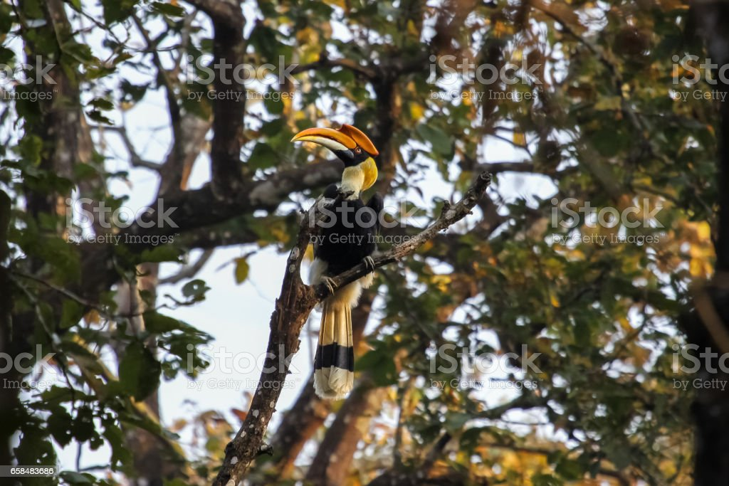 Great hornbill perching on a branch in the forest, Chitwan National Park stock photo