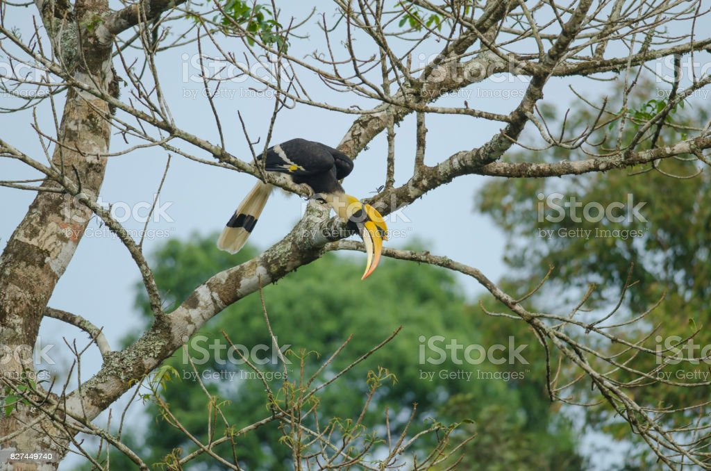 Great Hornbill perching on a branch stock photo