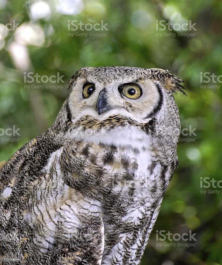 Great Horned Owl (Bubo virginianus) 5 stock photo