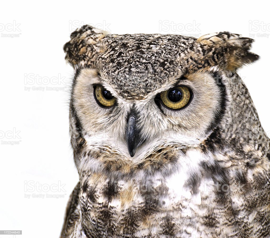 Great Horned Owl (Bubo virginianus) 7 stock photo