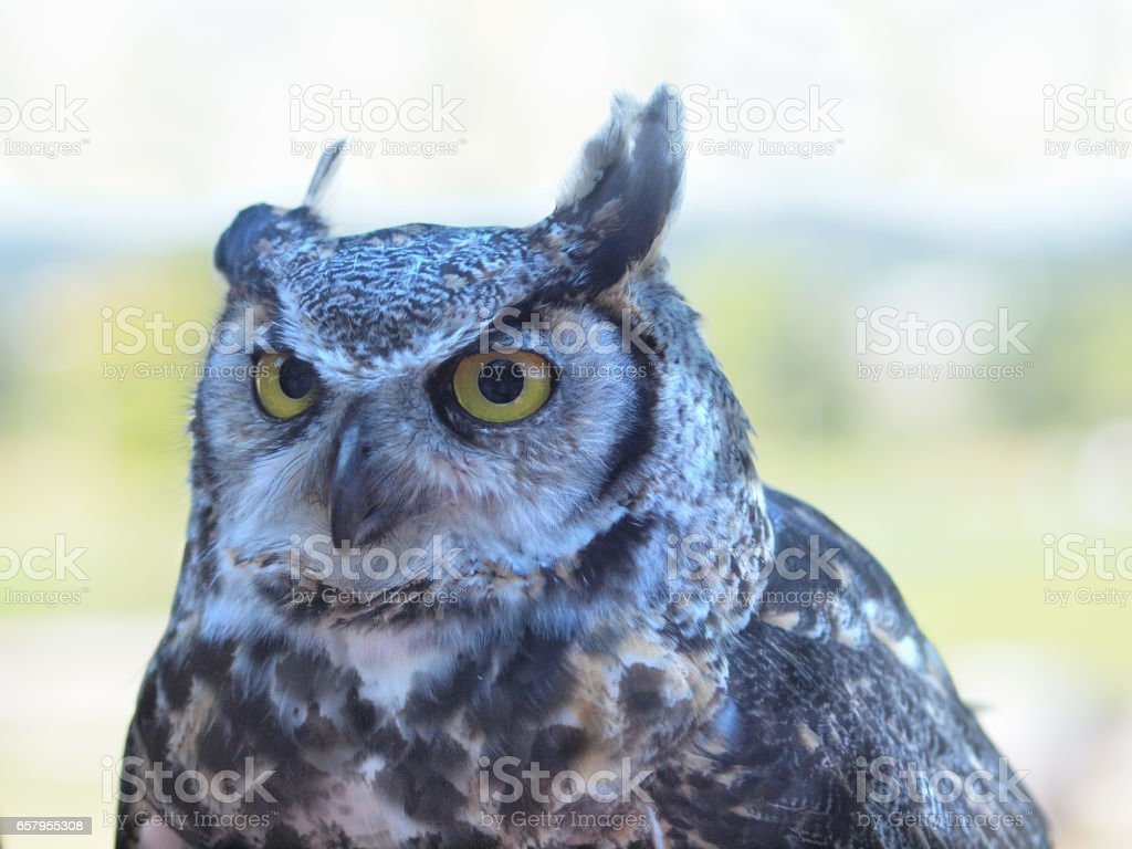 Great Horned Owl, (Bubo virginianus) against blurry background stock photo