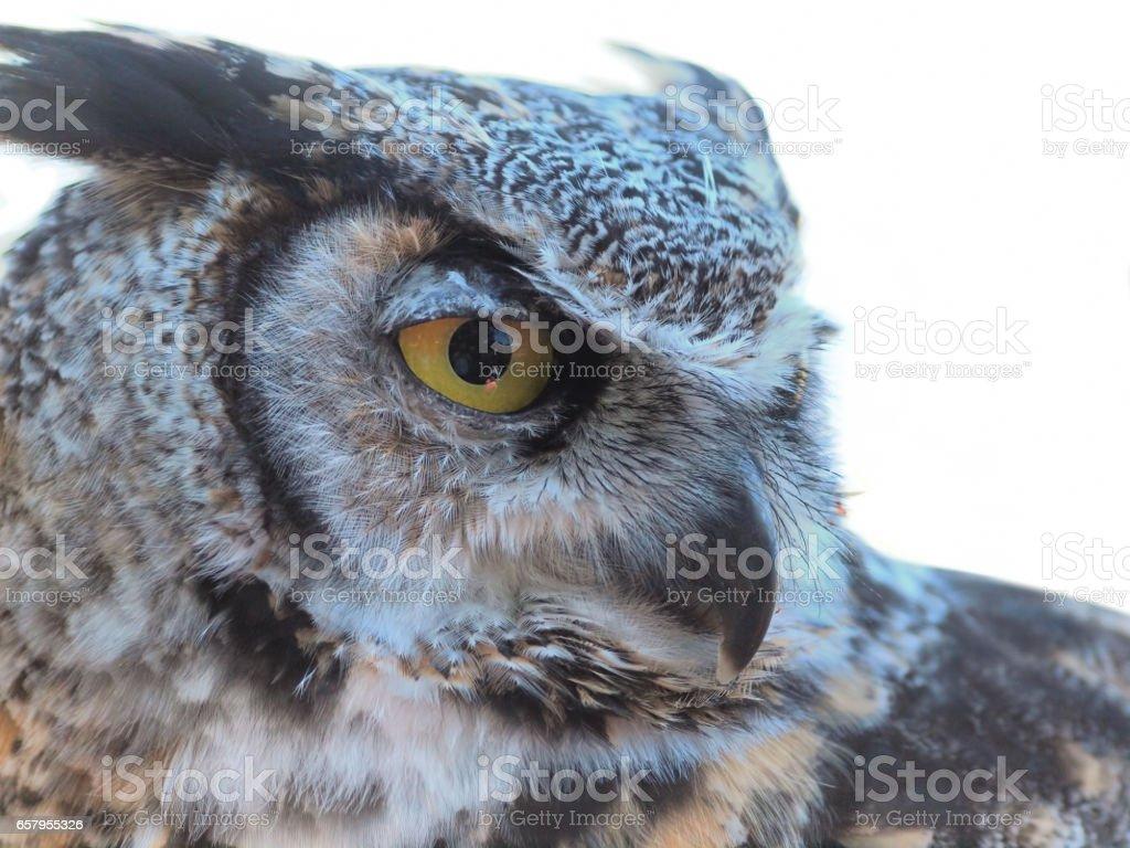 Great Horned Owl, (Bubo virginianus) against white background stock photo