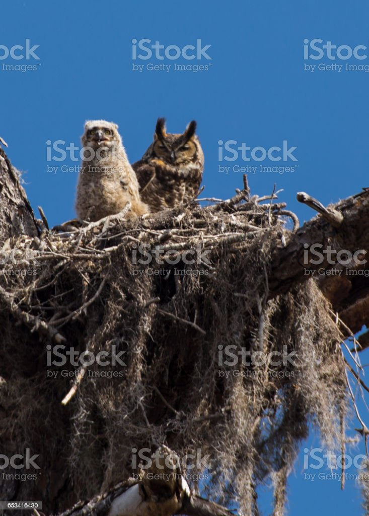 great horned owl and owlet stock photo
