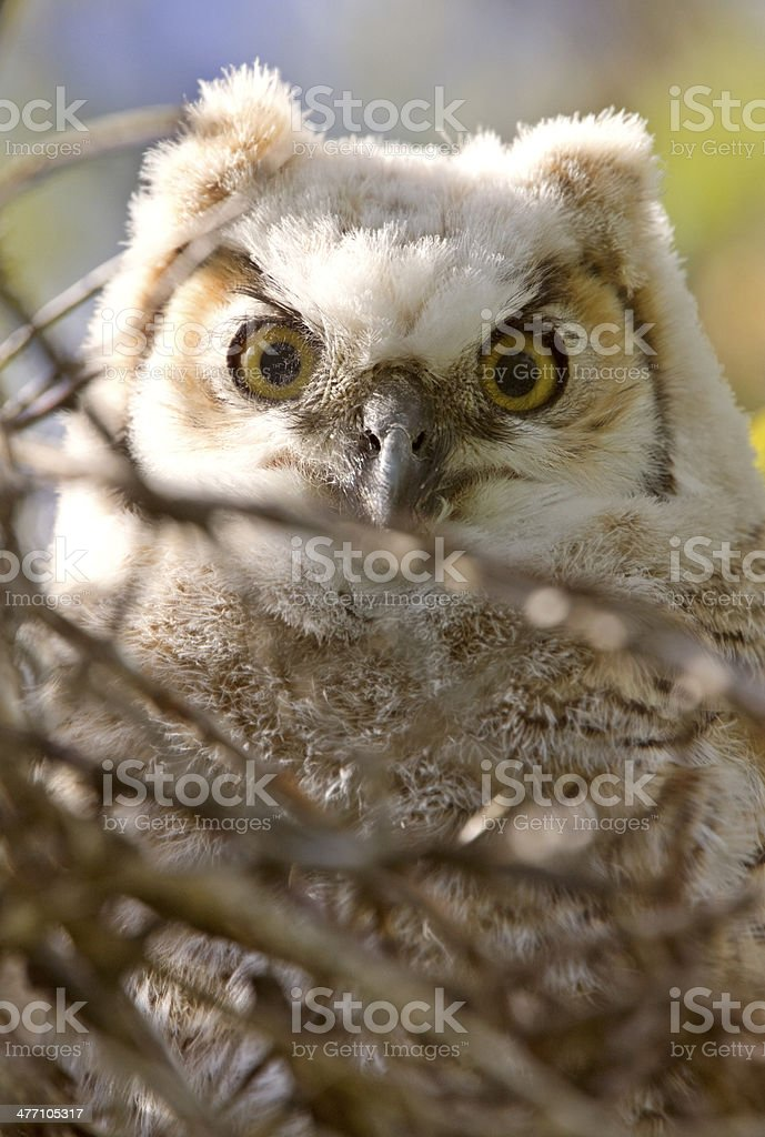 Great Horned Owl Babies Owlets in Nest stock photo