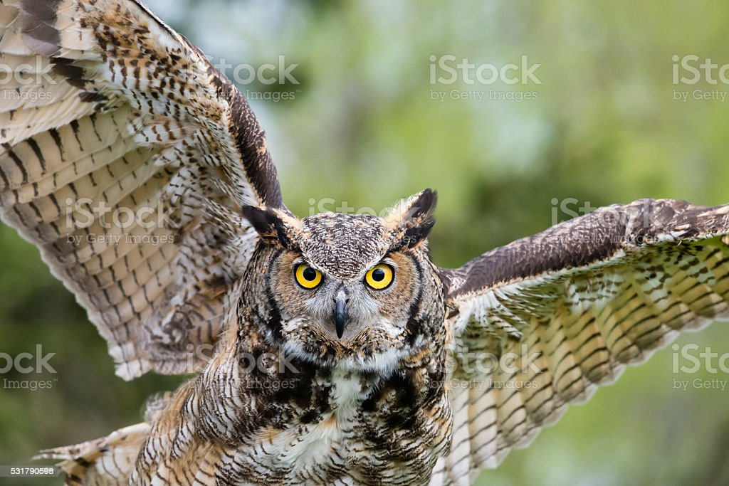 Great Horned Owl, bird of prey in flight, bubo virginianus stock photo