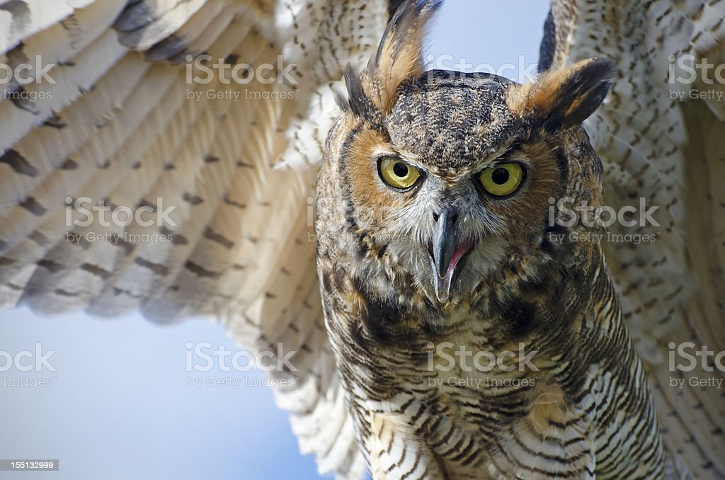 great horned owl, Bubo virginianus stock photo