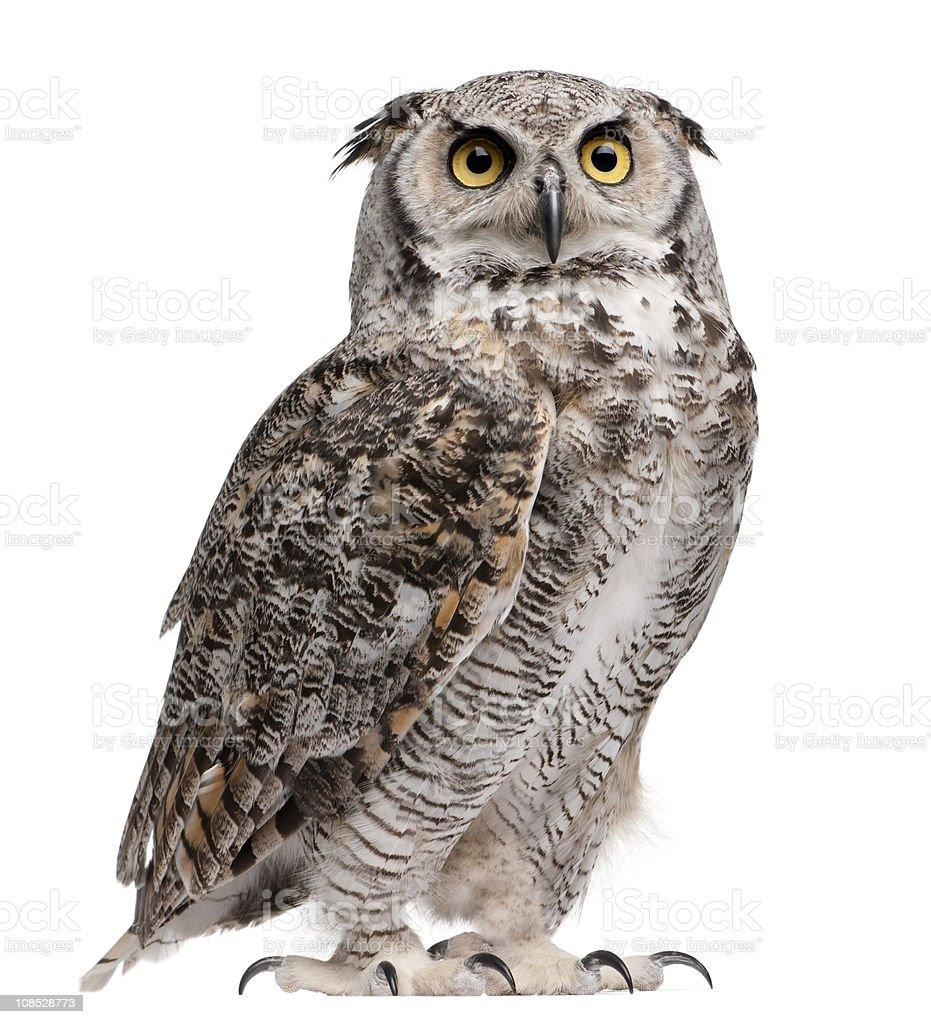 Great horned owl, Bubo virginianus subarcticus royalty-free stock photo
