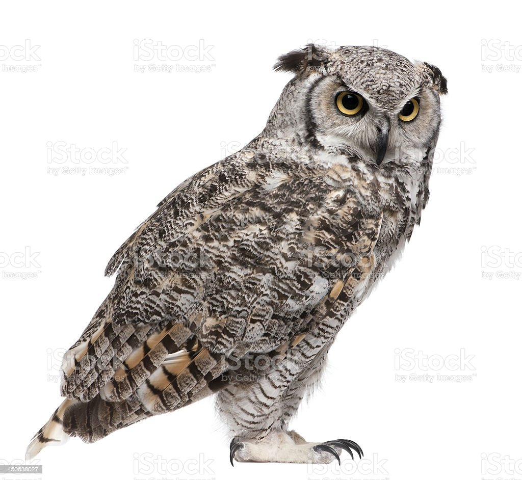 Great Horned Owl, Bubo Virginianus Subarcticus stock photo