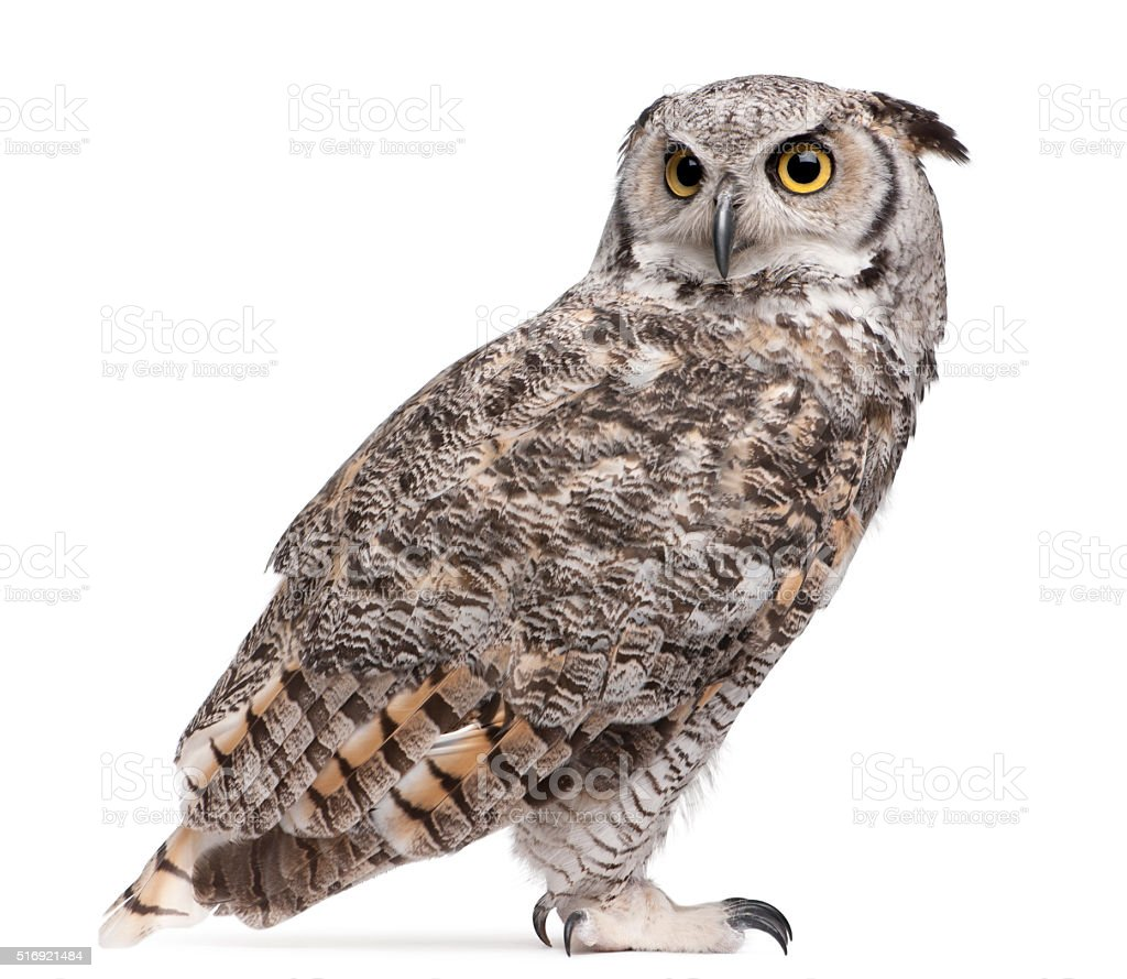 Great Horned Owl, Bubo Virginianus Subarcticus, stock photo