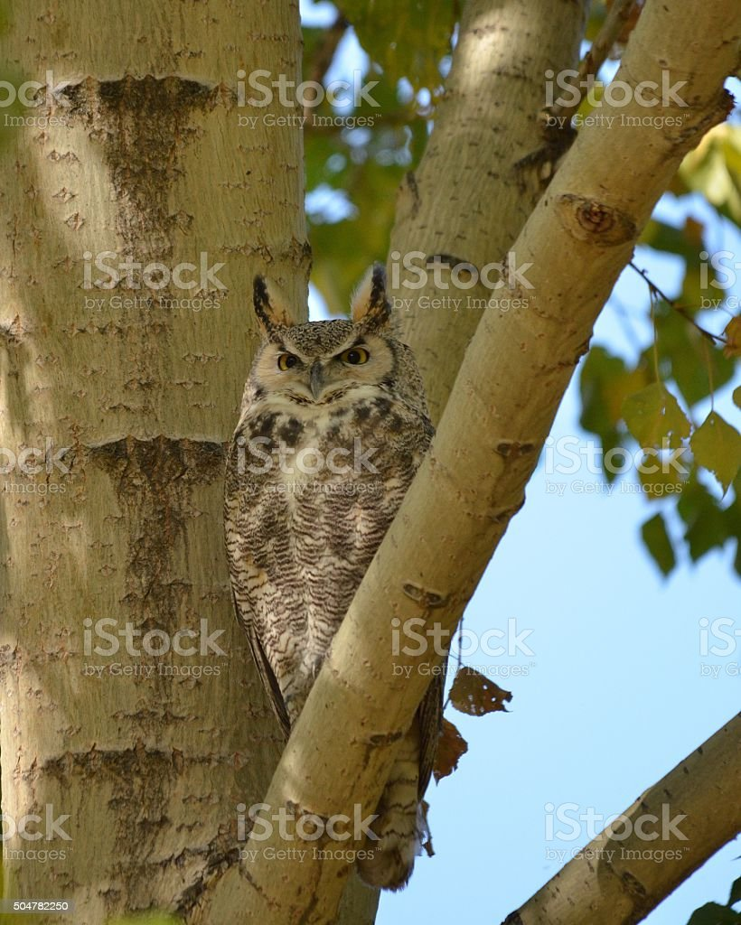 Great Horned Owl camouflaged by branches stock photo