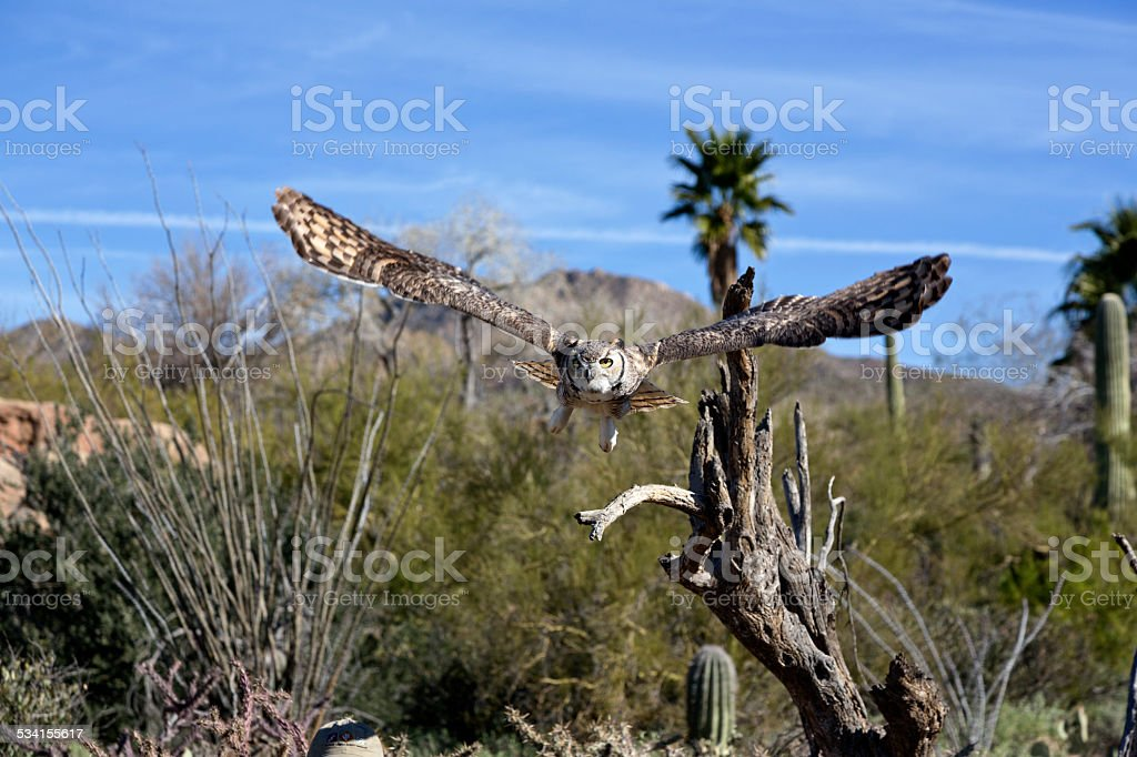 Great Horned Owl displays amazing wing spread stock photo