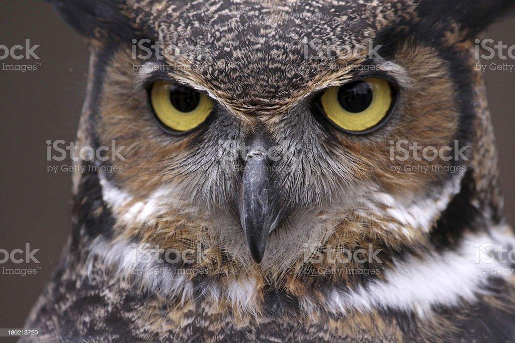 Great Horned Owl Eyes stock photo