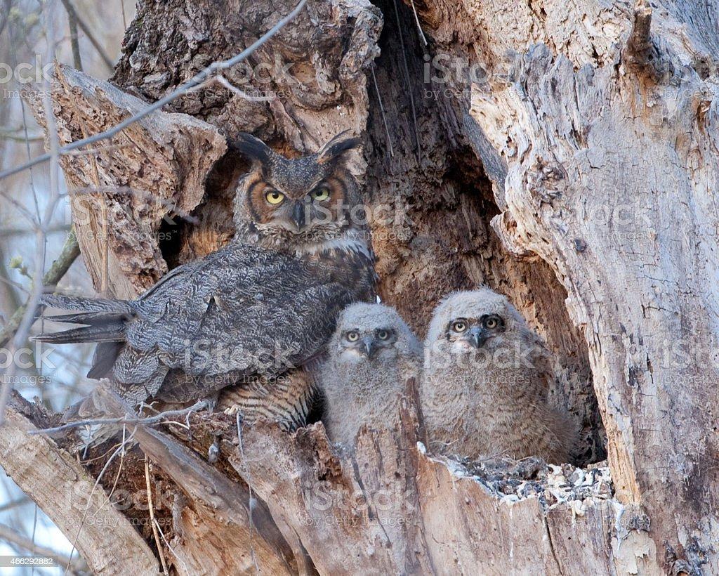 Great Horned Owl family stock photo