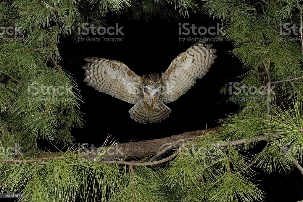 Great Horned Owl Flying at Night stock photo