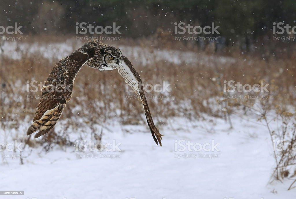 Great Horned Owl Flying stock photo