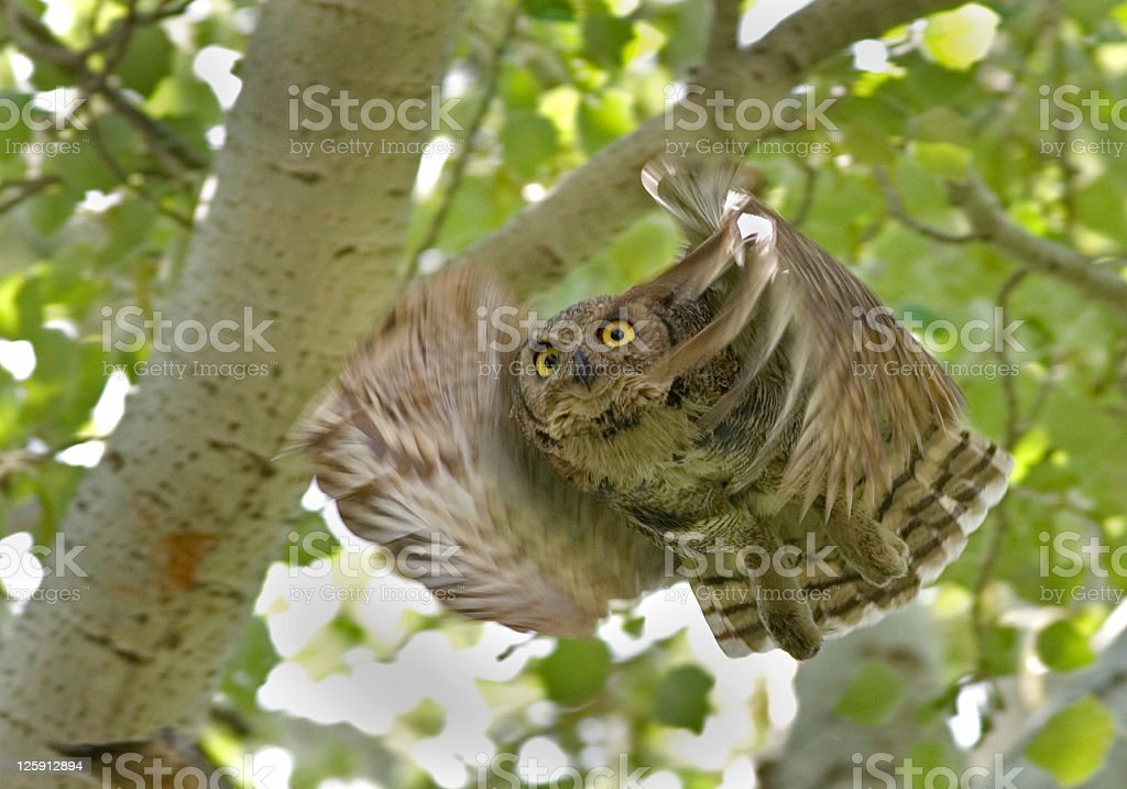 Great Horned Owl in Flight royalty-free stock photo
