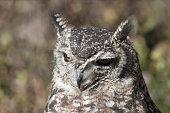 Great Horned Owl in Grand Tetons National Park