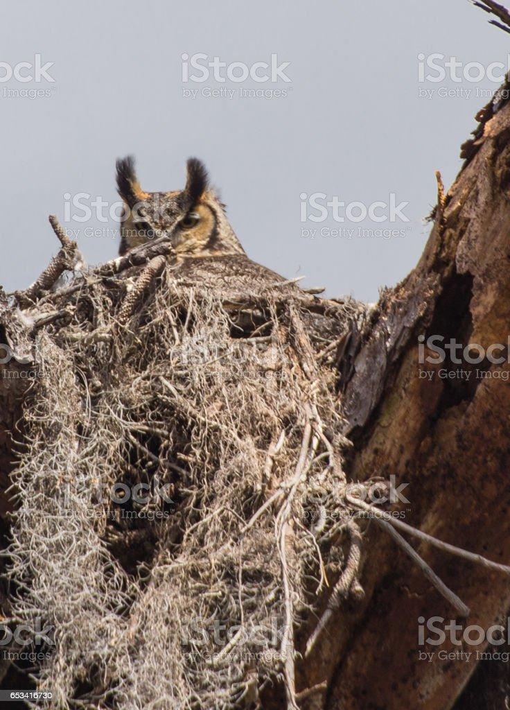 great horned owl  in nest stock photo
