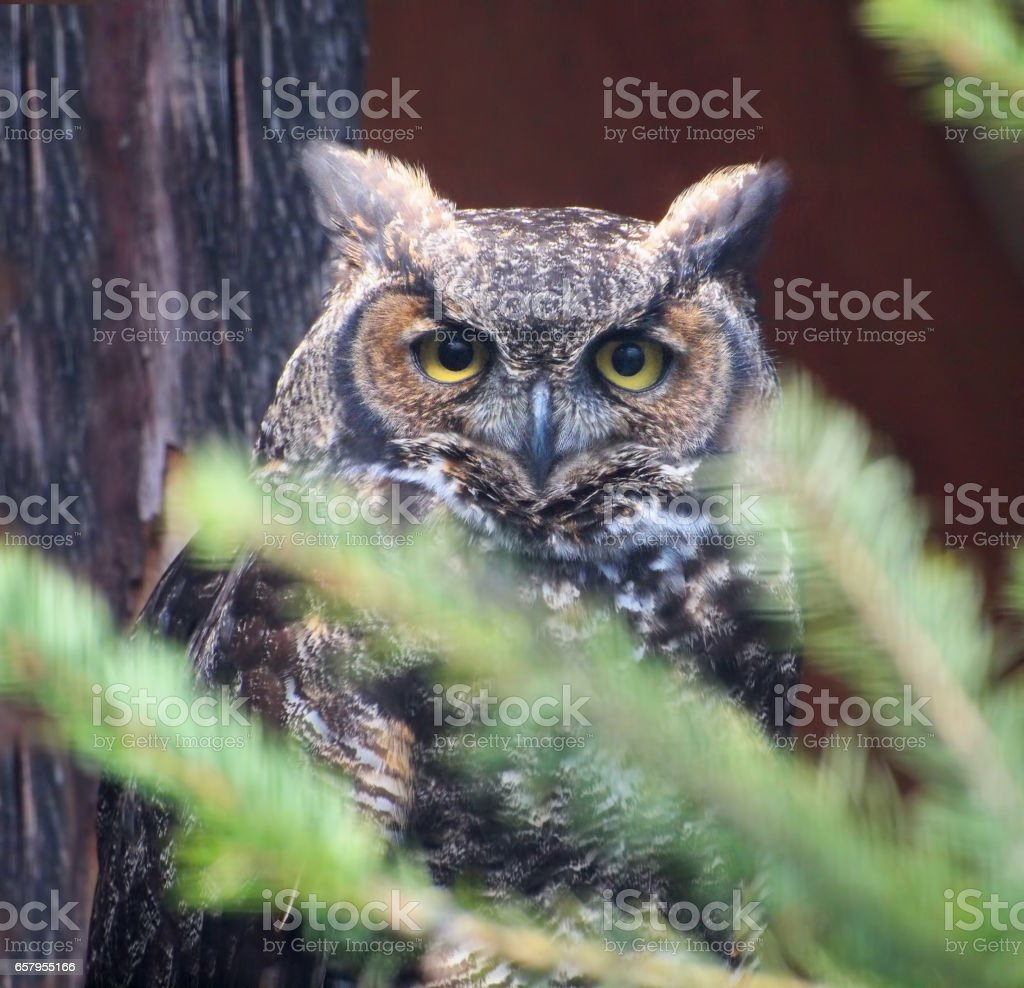 Great Horned Owl (Bubo virginianus) in the tree branches stock photo