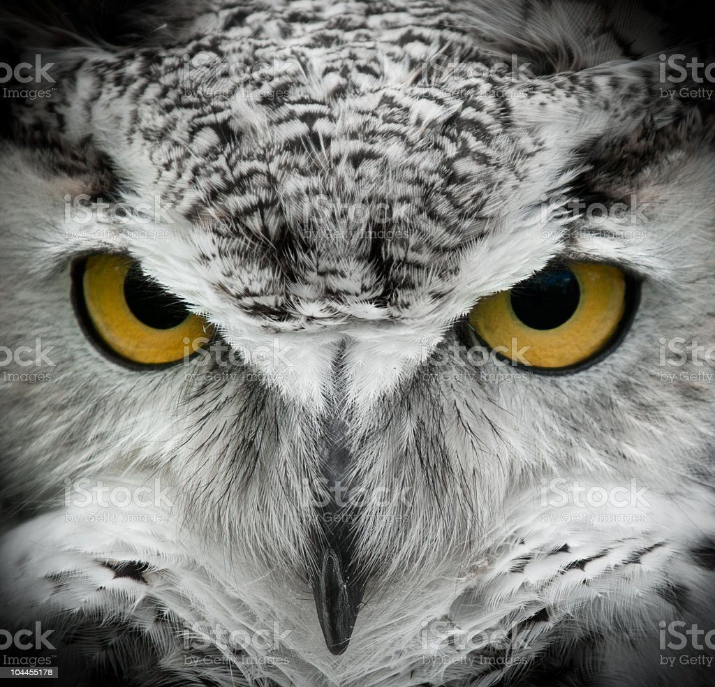 Great Horned Owl (Bubo Virginianus) looking straight forward royalty-free stock photo