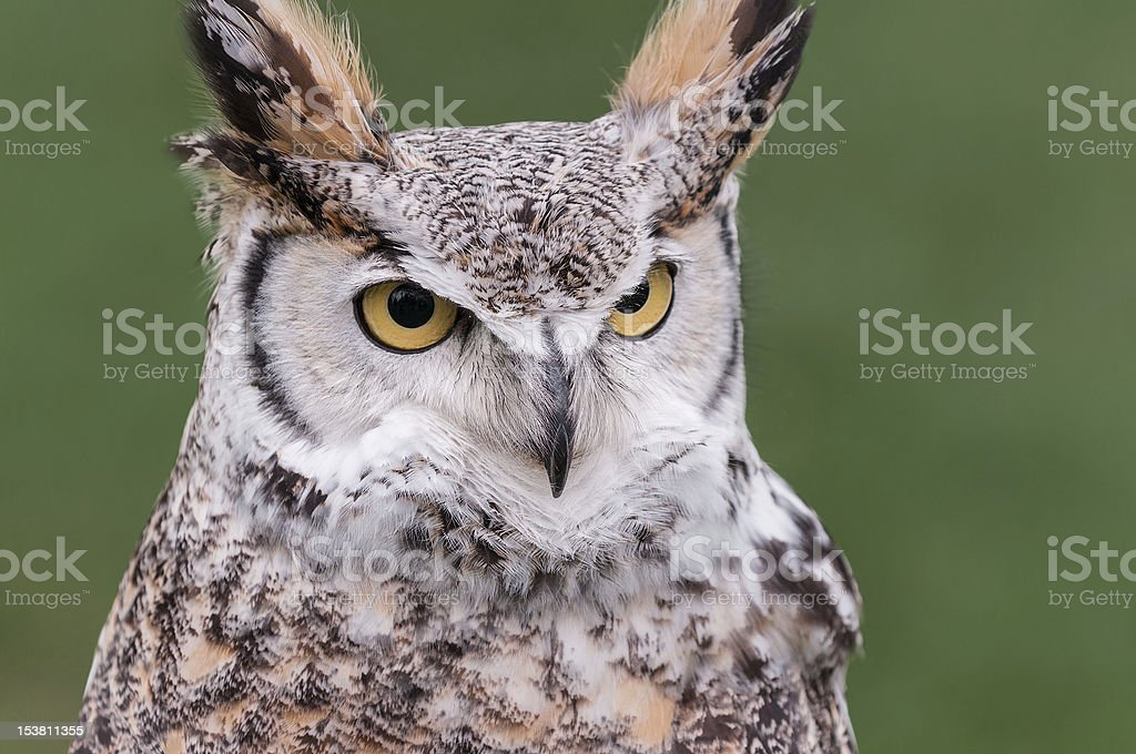 Great Horned Owl (Bubo virginianus) Looks Right royalty-free stock photo