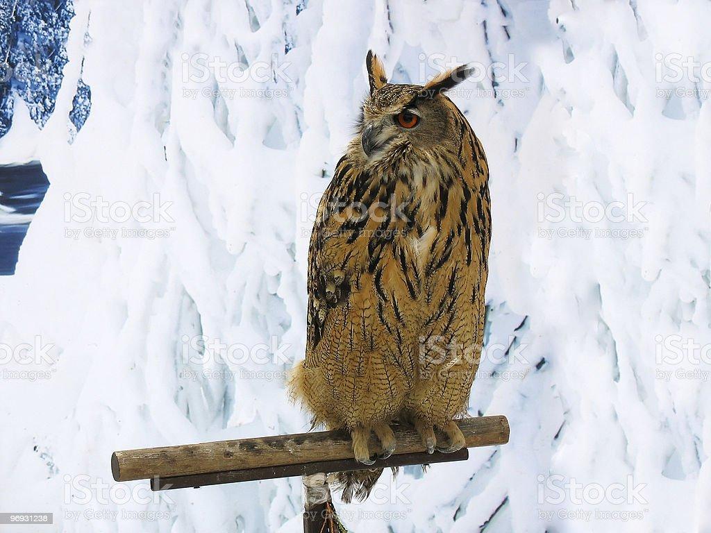 Bufo da Virgínia em um suporte sobre fundo de Neve foto de stock royalty-free