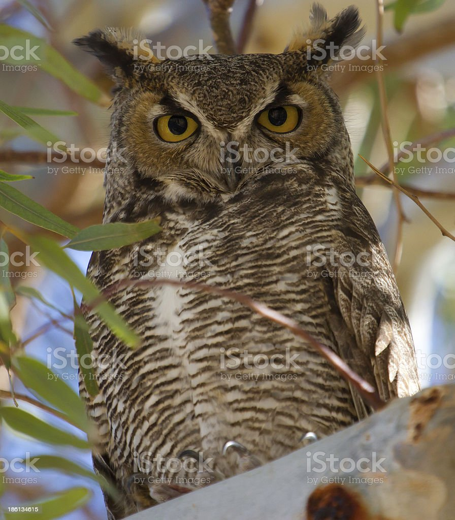 Great Horned Owl Perched in Eucalyptus royalty-free stock photo
