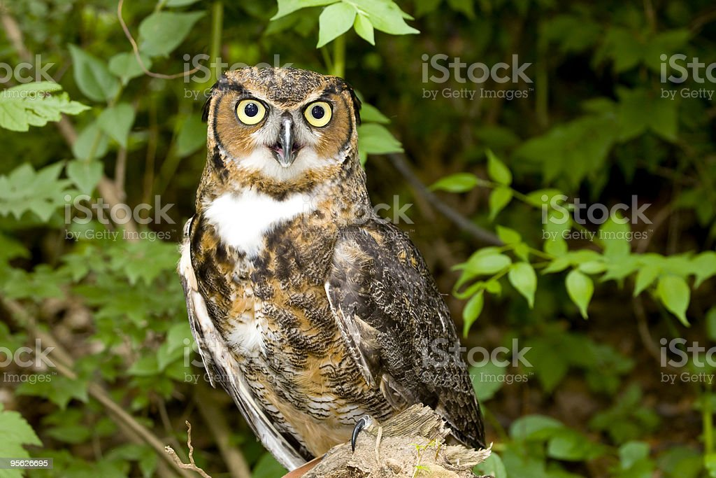 Great Horned Owl (Bubo virginianus) royalty-free stock photo