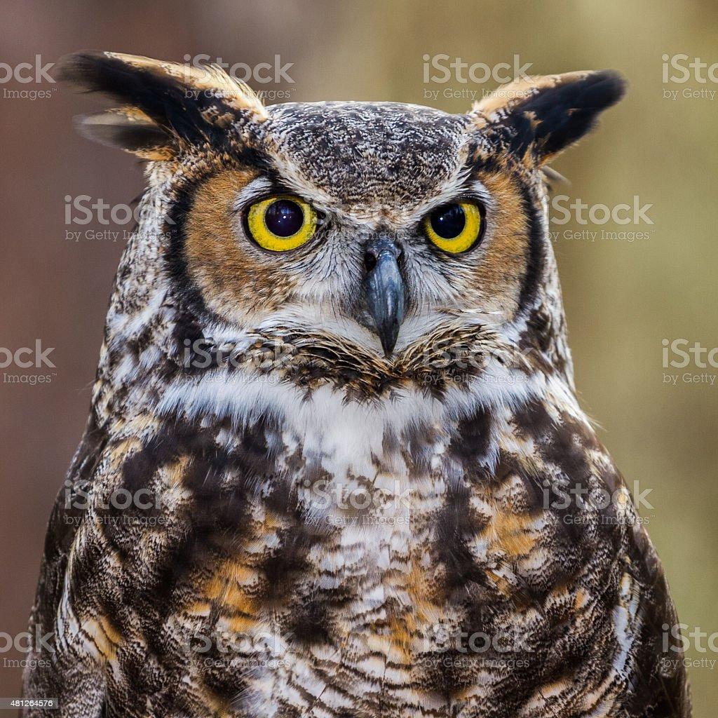 Great Horned Owl Portrait stock photo