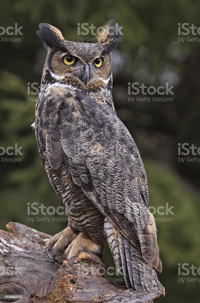 Great Horned Owl Stare stock photo
