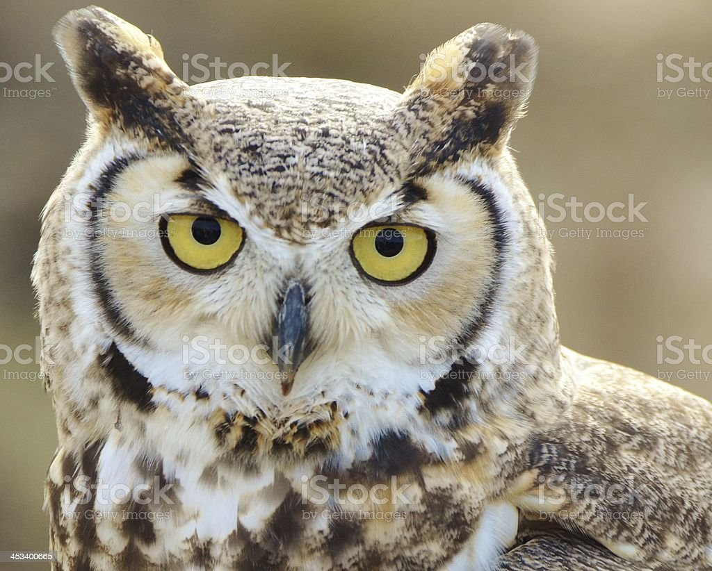Great Horned Owl - Tucson stock photo