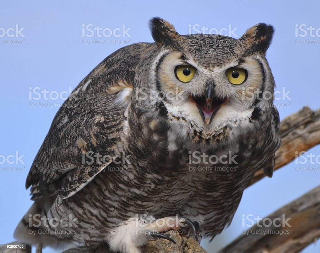 Great Horned Owl - Tucson royalty-free stock photo