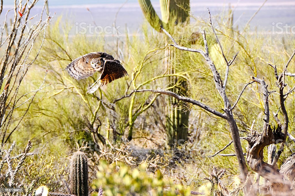 Great Horned Owl Wings Showing Motion royalty-free stock photo