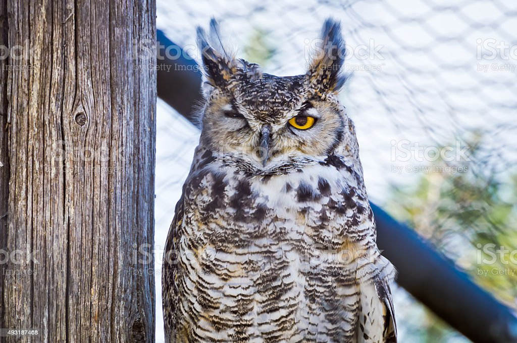 Great Horned Owl Winking stock photo