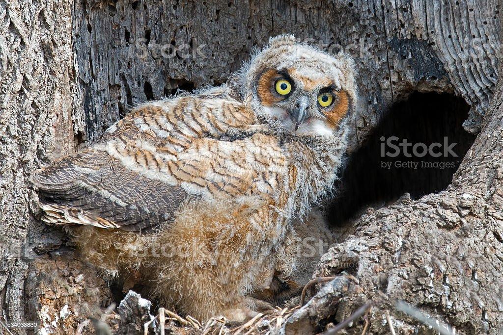 Great Horned Owlet in Nest stock photo