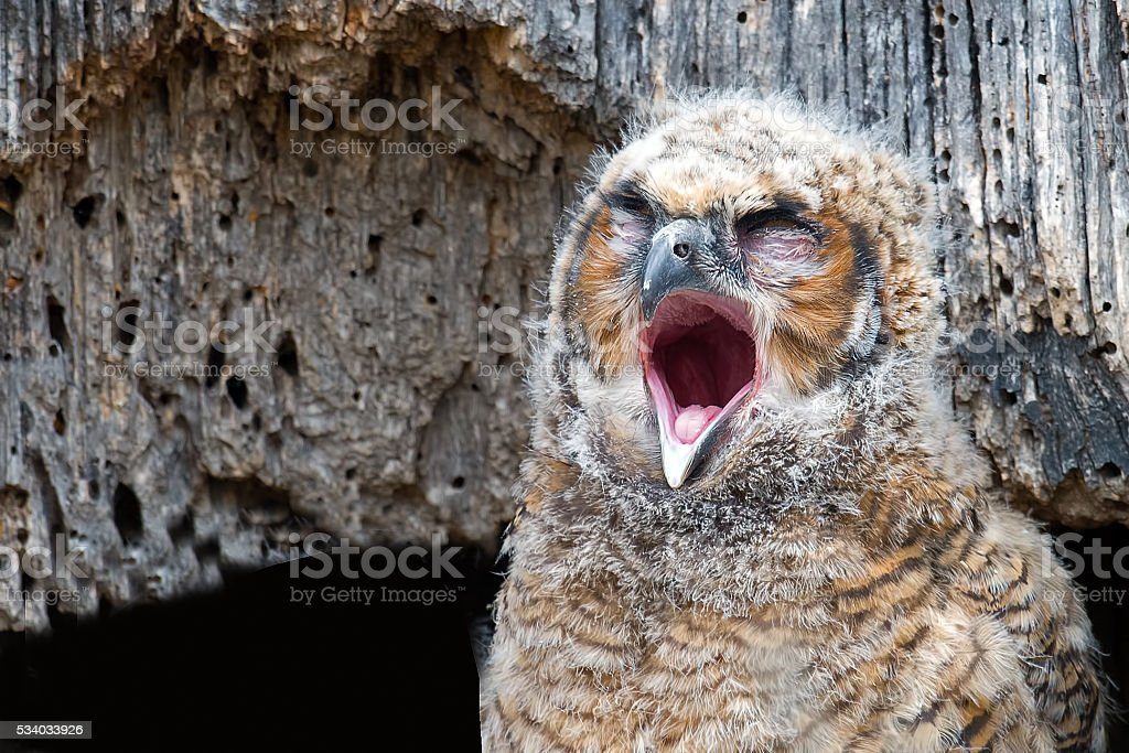 Great Horned Owlet in Nest Yawning stock photo
