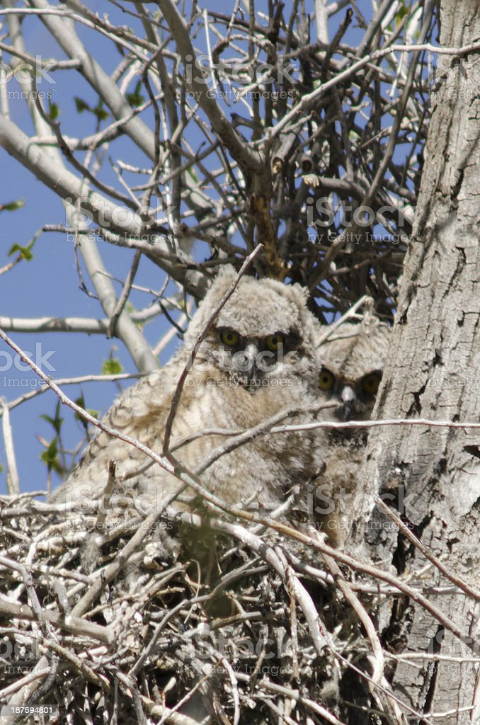 Great Horned Owlets in Nest royalty-free stock photo