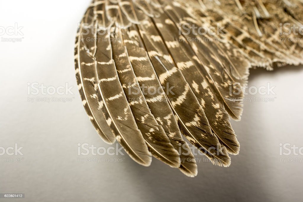 Great Horned Owl's wing feathers  on a light background stock photo